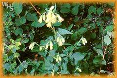 large-flowered brickellia