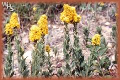 velvety goldenrod