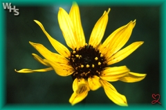 rhombic-leaved sunflower